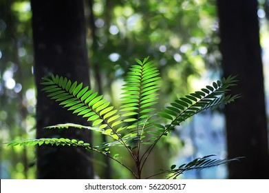 Longjack or tongkat ali leaves with backlit from sunlight in the tropical forest.
