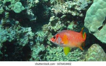 Longjaw Squirrelfish in the tropical waters of Maui, Hawaii.