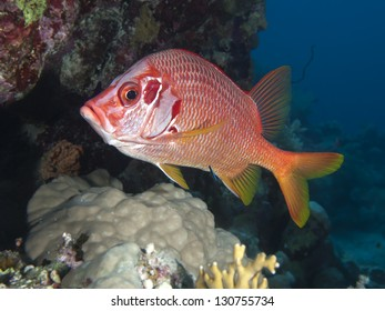 Longjawed squirrefish