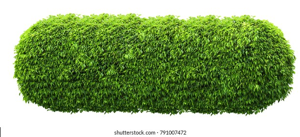 Longl green fresh ornamental wild hedge isolated on white background