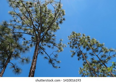 Longleaf Pine Needs and Branches Against a Blue Sky
