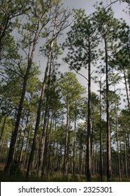 A Longleaf Pine Tree Forest
