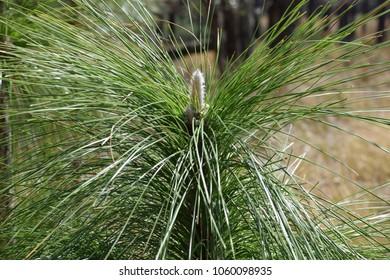 longleaf pine trees