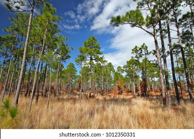 Longleaf pine trees and golden grasses