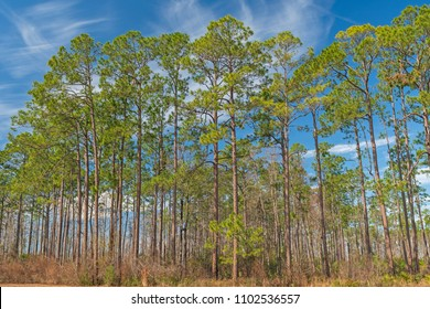 Longleaf pines in the Okefenokee Swamp oin Georgia