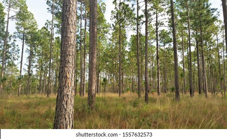 Longleaf pines tower above grassy undergrowth in a North Carolina swamp.