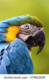 Longleat Safari Park, Wiltshire, UK - August 23, 2012: A captive Blue and Yellow Macaw ( Ara ararauna) also known as the Blue and Gold Macaw, at the Longleat Safari Park in Wiltshire, United Kingdom.