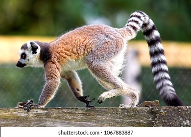 Longleat, Wiltshire, UK - August 23, 2012: Visitors take photographs of a captive ring-tailed lemur (Lemur catta) at a safari park