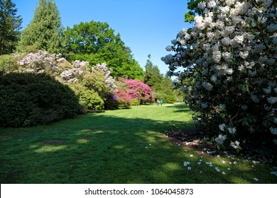 Longleat, Wiltshire, UK. May 24, 2016. Rhododendron's in flower at Heavens Gate Rhododendron and Azalea walk