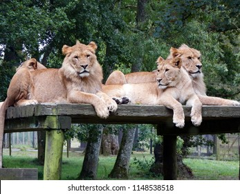 Longleat,Wiltshire,UK 10-08-14 The magnificent lions of Longleat enjoying a peaceful afternoon rest on a wooden platform