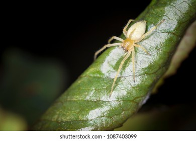 Long-legged Sac Spider on Green Leaf.  Macro shot with shallow depth of field.