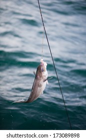 Longline is a traditional fishing methode used both commercially and private. Typically 100 or more hooks with bait (mackrel or herring).