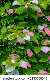 Long-lived, woody scrambling, pink and green creeper Actinidia (Actinidia kolomikta, Actinidiaceae), commonly known as variegated-leaf hardy kiwi, a species of deciduous woody vine.