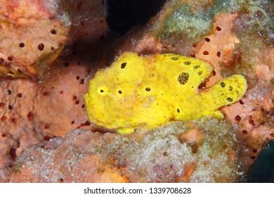 Longlure Frogfish (Antennarius multiocellatus) perched on a sponge - Bonaire