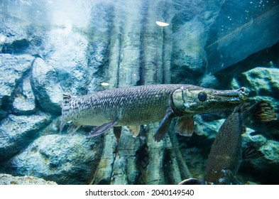 The longnose gar also known as longnose garpike or billy gar. It lives in aquarium in Thailand for study and learn about it.