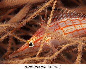 Long-nose hawkfish / Oxycirrhites typus  hiding in coral / Maldives