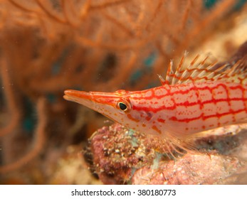 Long-nose hawkfish / Oxycirrhites typus sitting on coral / Maldives