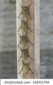 Long-nosed Bats (Rhynchonycteris naso) roosting, Costa Rica