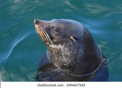 long-nosed fur seal or South Australian fur seal, Arctocephalus forsteri, in the harbour of Port Lincoln, South Australia, Indian Ocean
