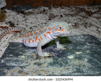The long-nosed leopard lizard (Gambelia wislizenii )