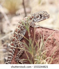 A long-nosed leopard lizard (Gambelia  wislizenii) rests on a red rock in the New Mexico desert.