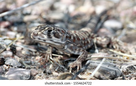 A long-nosed leopard lizard (Gambelia wislizenii) resting in the shade of a bush in the desert.