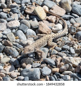 Long-nosed leopard lizard (Gambelia wislizenii) is a relatively large reptile in the Mojave Desert