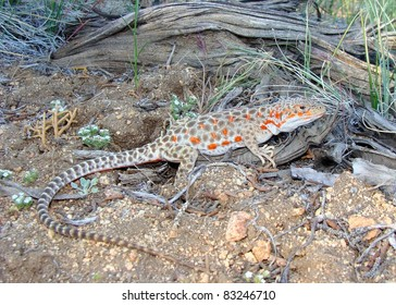 Long-nosed Leopard Lizard, Gambelia wislizenii (gravid female)