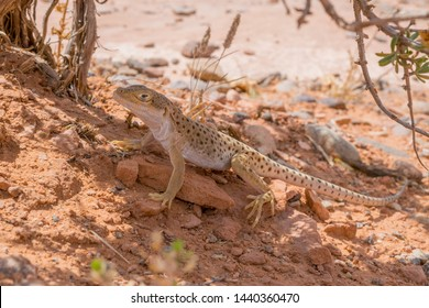 A Long-Nosed Leopard Lizard looks on as his photo is taken in the desert near Moab, Utah.