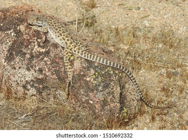 Long-Nosed Leopard Lizard, Mojave Desert, California. A stunning reptile basking in the sun. This spectacular lizard's camouflage fits its environment so well. Nature never ceases to amaze me.