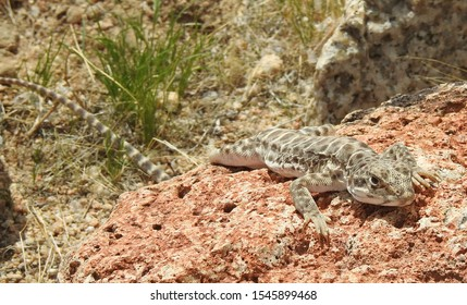 Long-nosed leopard lizard, Mojave Desert, California.