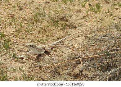 Long-nosed Leopard Lizard, Mojave Desert, Antelope Valley, California.