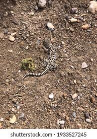 Long-nosed leopard lizard in southern Utah