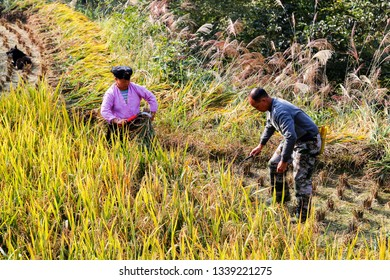 Longsheng, China - October 11, 2014: A farmer couple from Zhaung Ethnic is harvesting rice with sickles in the autumn field