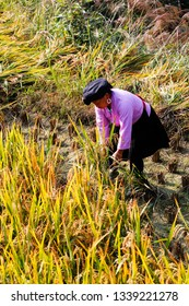 Longsheng, China - October 11, 2014: A female farmer from Zhaung Ethnic is harvesting rice with sickle in the autumn field