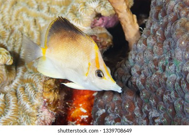 Longsnout Butterflyfish (Prognathodes aculeatus) swimming over a coral reef - Bonaire