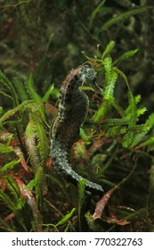 Longsnout seahorse hiding in a seagrass. Close up vertical picture of a well known marine creature belonging to fish family.