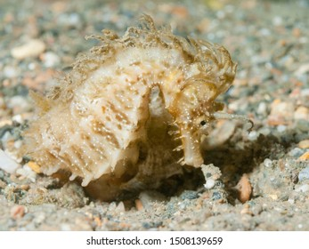 Long-snouted seahorse (Hippocampus guttulatus) Granada, Spain