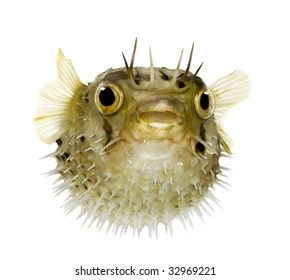 Long-spine porcupinefish also know as spiny balloonfish - Diodon holocanthus in front of a white background