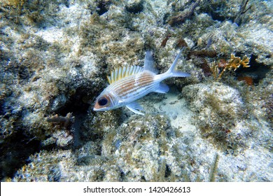 The longspine squirrelfish (Holocentrus rufus) is a silvery red, sea fish with orange-gold body stripes. They are known for their large eyes and the long spined fins.