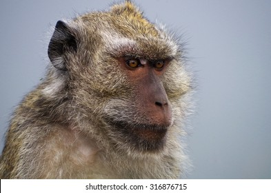 Long-tail Macaque (Macaca fascicularis) on a misty morning