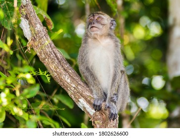 Long-tail Macaque Monkey in the jungle in Borneo.