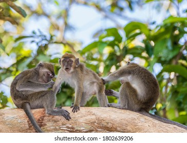 Long-tail Macaque Monkey in the jungle in Borneo