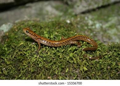Longtail Salamander (Eurycea longicauda)