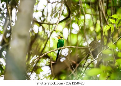 """Long-tailed Broadbill bird perching on branch  in tropical rainforest, Khao Yai National Park, UNESCO World Heritage Site under the name """"Dong Phayayen-Khao Yai Forest Complex"""""""