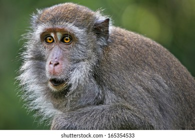 Long-tailed or Crab-eating Macaque (Macaca fascicularis) stares with yellow eyes & fills cheek sacs with food in the jungles of Borneo. These cheek pouches are used to store food while foraging.