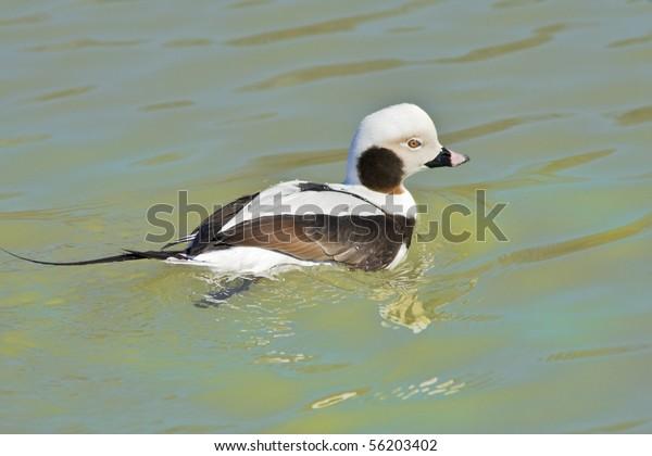 Long-tailed duck. Clangula hyemalis.