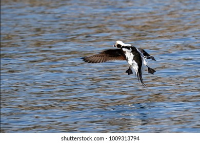 A long-tailed duck in flight.