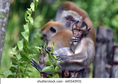 The long-tailed macaque of Asia.
