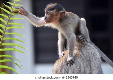 The long-tailed macaque of Asia. Naughty, frivolous, playful, cute, it's natural and a little bit crazy